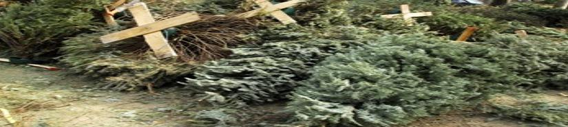 Obras públicas habilita centros de acopio para árboles navideños