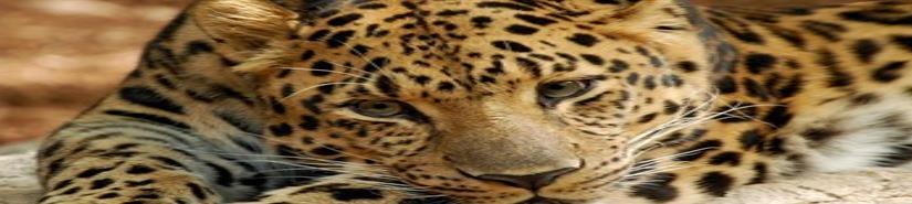 El leopardo del Amur, en peligro crítico de extinción