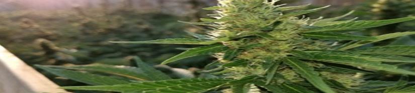 Cannabis. El consumo lúdico afecta al uso médico