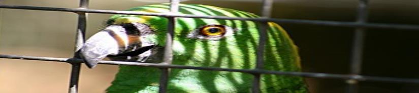 Mamá, la policía: detienen a un loro narco en Brasil