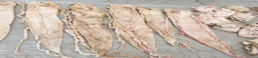 FGR asegura 49 buches de totoaba en Baja California