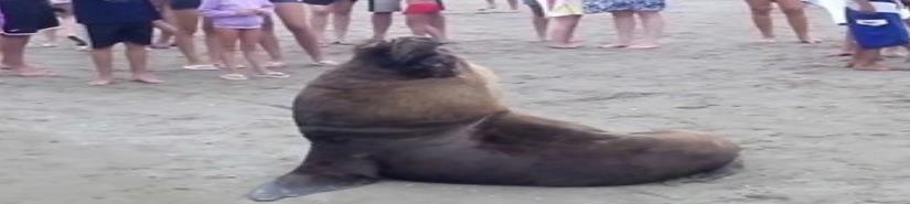 Encuentran lobo marino en Chiapas