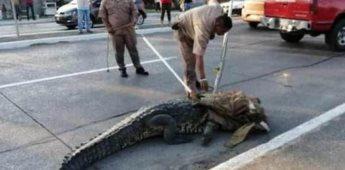 Cocodrilo interrumpe el tráfico en un bulevar de Tampico