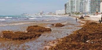 Descomposición de sargazo mató a 78 especies de fauna marina