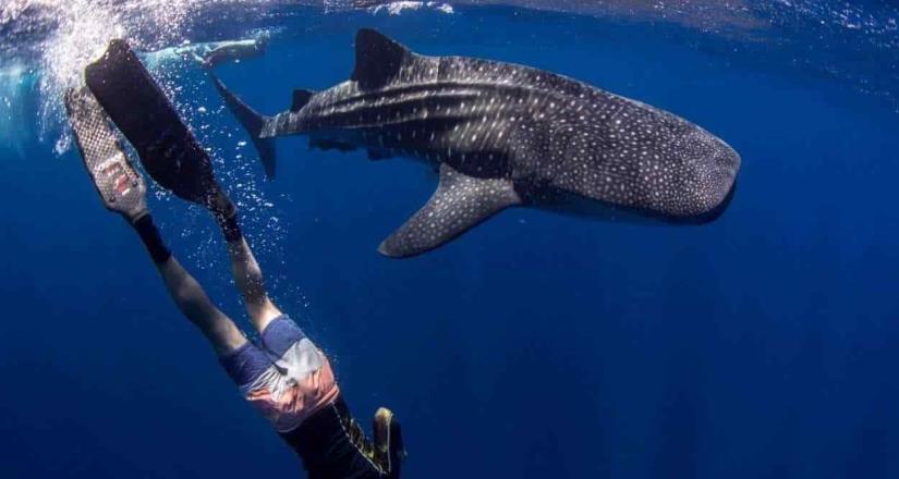 Se aproxima temporada de  avistamiento y nado con tiburón ballena