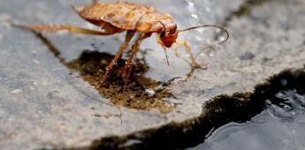 Las cucarachas se están volviendo más resistentes a los insecticidas