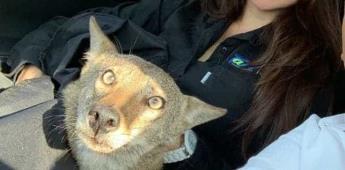 Joven confunde a coyote con perro