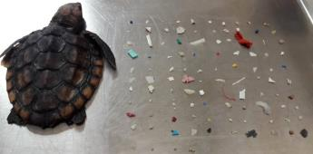 Muere tortuga bebé; tenía 104 piezas de plástico en su interior