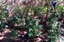 Localiza PEP en Tecate, 5 plantíos con un total de 51 mil 800 plantas
