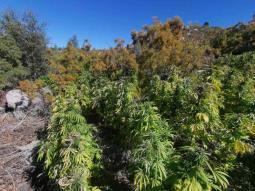 Destruyen 10 plantíos de marihuana