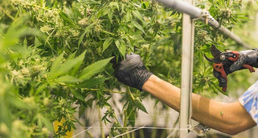 Plantean quitar límite a portación de marihuana