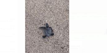 Joven salva la vida de una tortuga, pero ave se la quita
