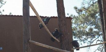 Liberaron a dos Cóndores de California en San Pedro Mártir
