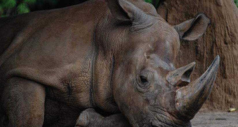 Muere Imam,la última rinoceronte de Sumatra en Malasia