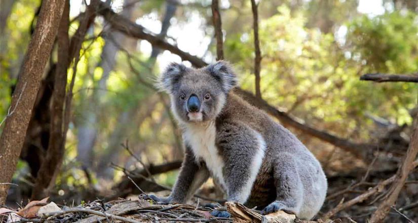 Mueren alrededor de 350 koalas tras incendios en Australia