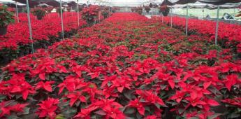 Garantizado el abasto de flor de Nochebuena para temporada decembrina 2019
