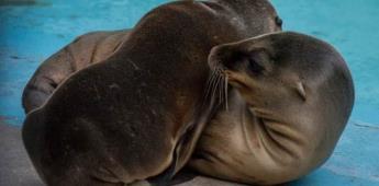 Lobos marinos rescatados hace una semana, aún en estado crítico