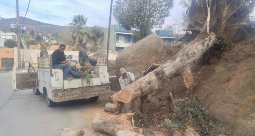 Retiran árboles caídos