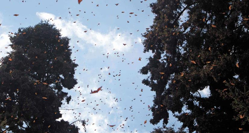 Comienza la gala de la mariposa monarca