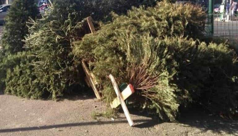 Rancho La Puerta está recibiendo arbolitos usados en navidad para triturarlos y reutilizarlos