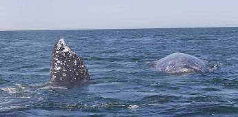 Reportan el primer censo de la ballena gris en la península