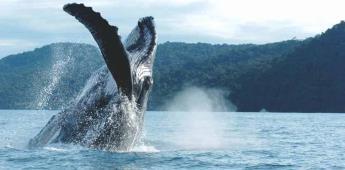 Nacieron 14 crías de ballena gris en BCS