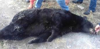 Indigna muerte de oso negro por herida de bala en Tamaulipas