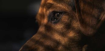 PES pide elevar sanciones a quienes torturen o mutilen perros
