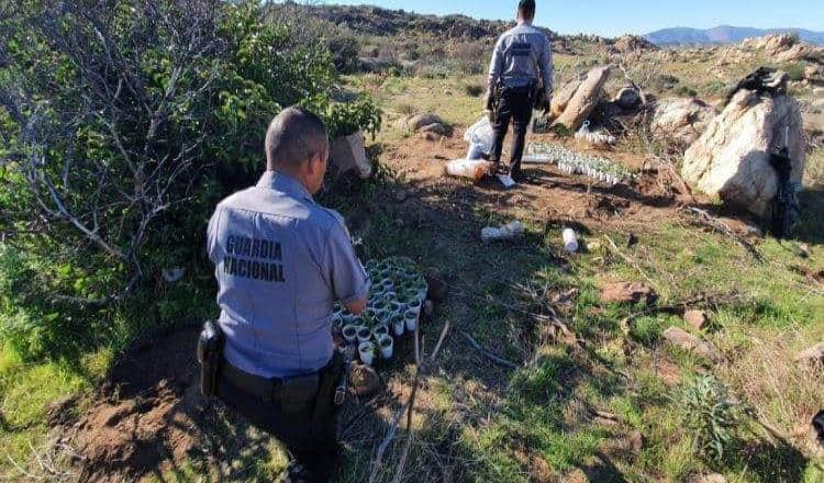 Destruye la Guardia Nacional, mil 900 plantas de marihuana cultivadas en el ejido Rancho Viejo