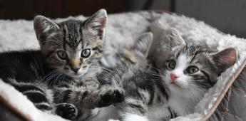 Más de 10.5 millones de gatos en México celebran su día