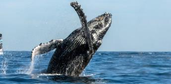 Explora el fascinante Comondú, refugio de la ballena gris