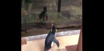 Pingüinos caminan libres en acuario