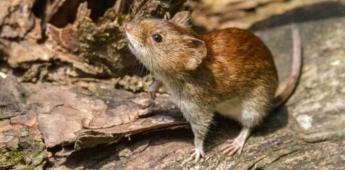 ¿Qué son los hantavirus y cuál es su relación con las ratas?