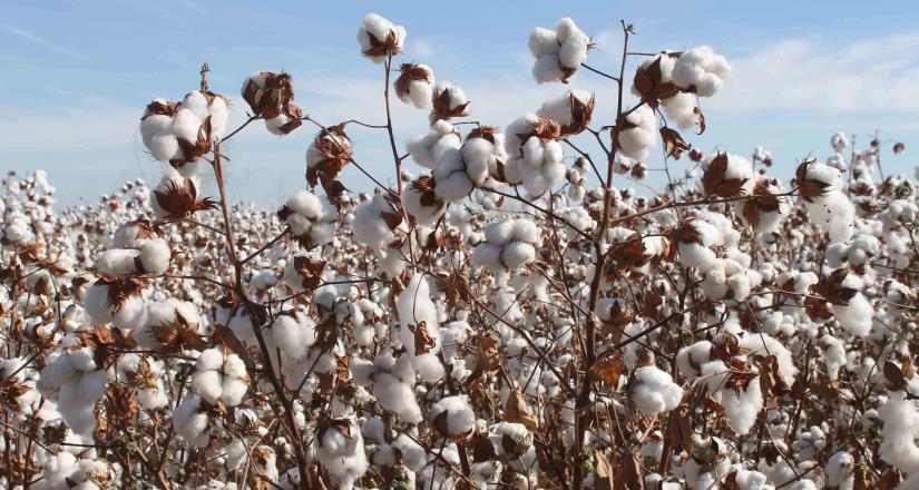 Cerró la cosecha algodonera 2019, con la Producción de 204,604 pacas: Agricultura