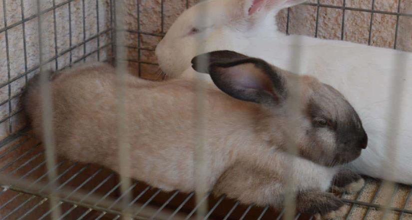 BC está libre de enfermedad hemorrágica viral en conejos