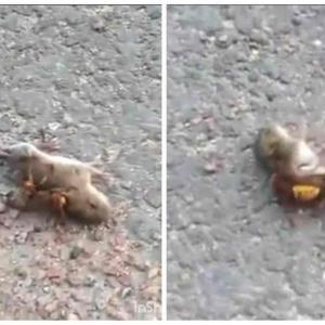 Avispón asesino le quita la vida a un ratón en segundos: VIDEO