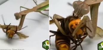 La mantis religiosa, depredadora de la avispa asesina