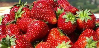 Repunta la fresa en los cultivos de la zona costa