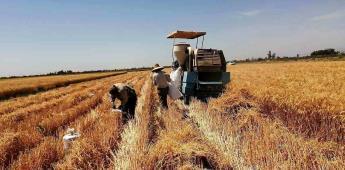 Cosechado el 80% de la semilla de trigo sembrada en el Valle de Mexicali: JMMN