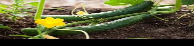 Fuerte la producción de pepino persa en los campos agrícolas de la Zona Costa de BC