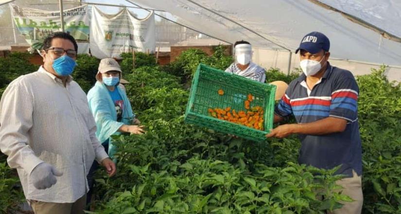 Comprueban efectividad del cultivo de chile habanero