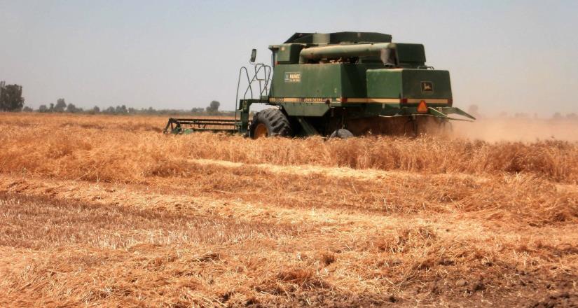 Superan las trillas el 88% de la superficie sembrada con trigo en el Valle de Mexicali