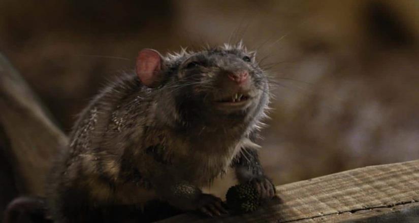 Ratas hambrientas comienzan a ser agresivas y caníbales
