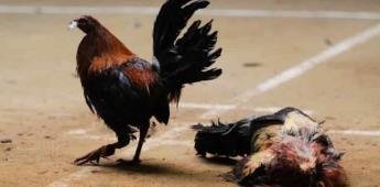 ¿Peleas de gallos como patrimonio cultural?