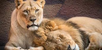 Una pareja de leones es sacrificada al mismo tiempo por problemas de salud