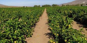 Inspeccionó la Secretaría de Agricultura la cosecha del cultivo del chile en el Valle de la Trinidad