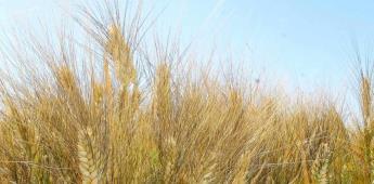 Indispensable la rotación de cultivos para controlar malezas en el Valle de Mexicali