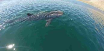 Permiten el nado y avistamiento del tiburón ballena