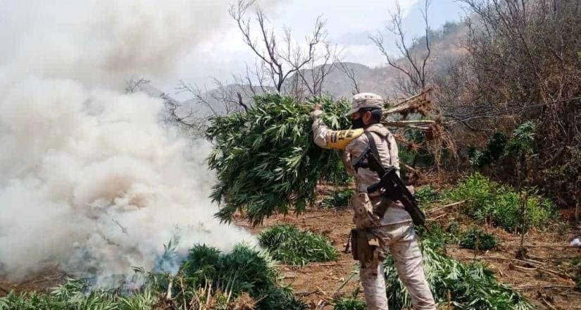 Erradican nueve sembradíos de marihuana.