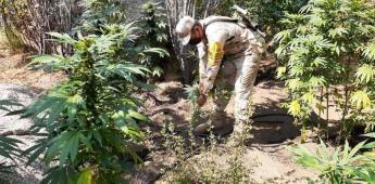 Incineran cuatro sembradíos de marihuana